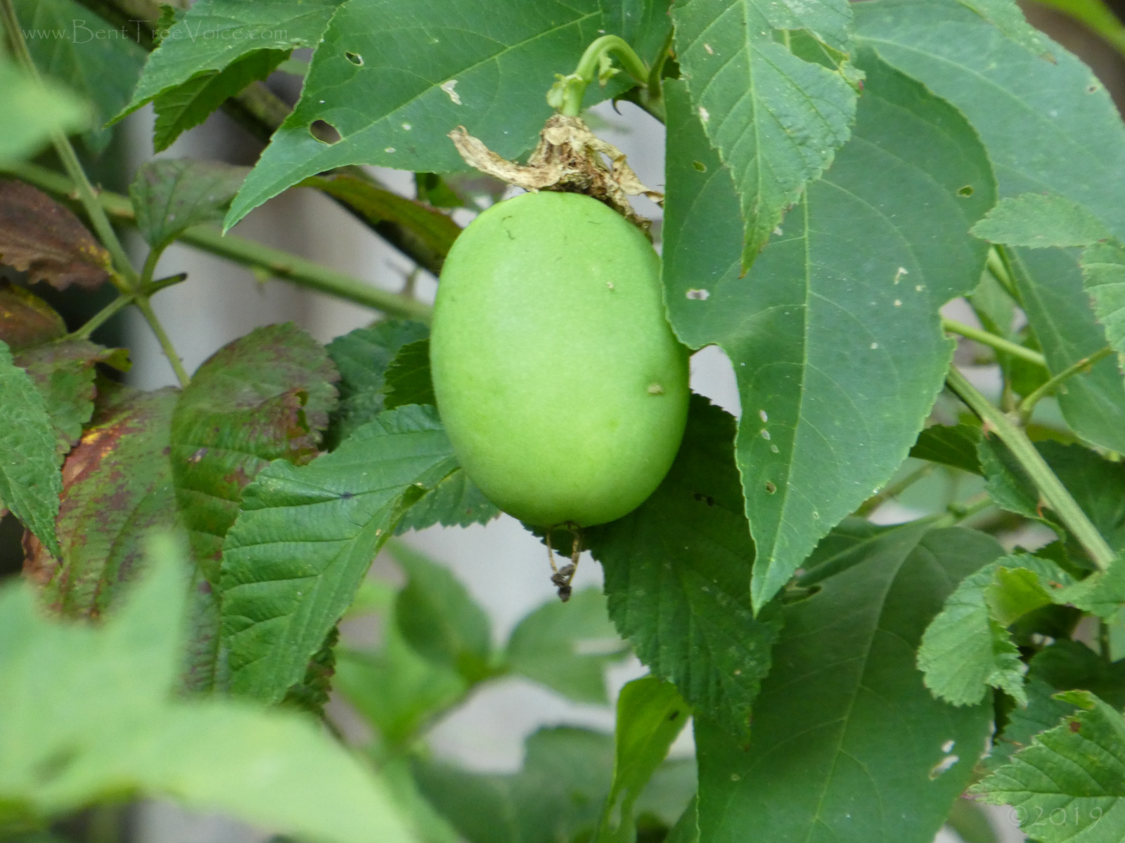 "August 21, 2019 - Passionflower (maypop) fruit in Bent Tree - it ""may pop"" if you step on it"