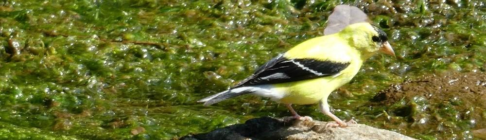 August 18, 2019 - Goldfinch in Bent Tree