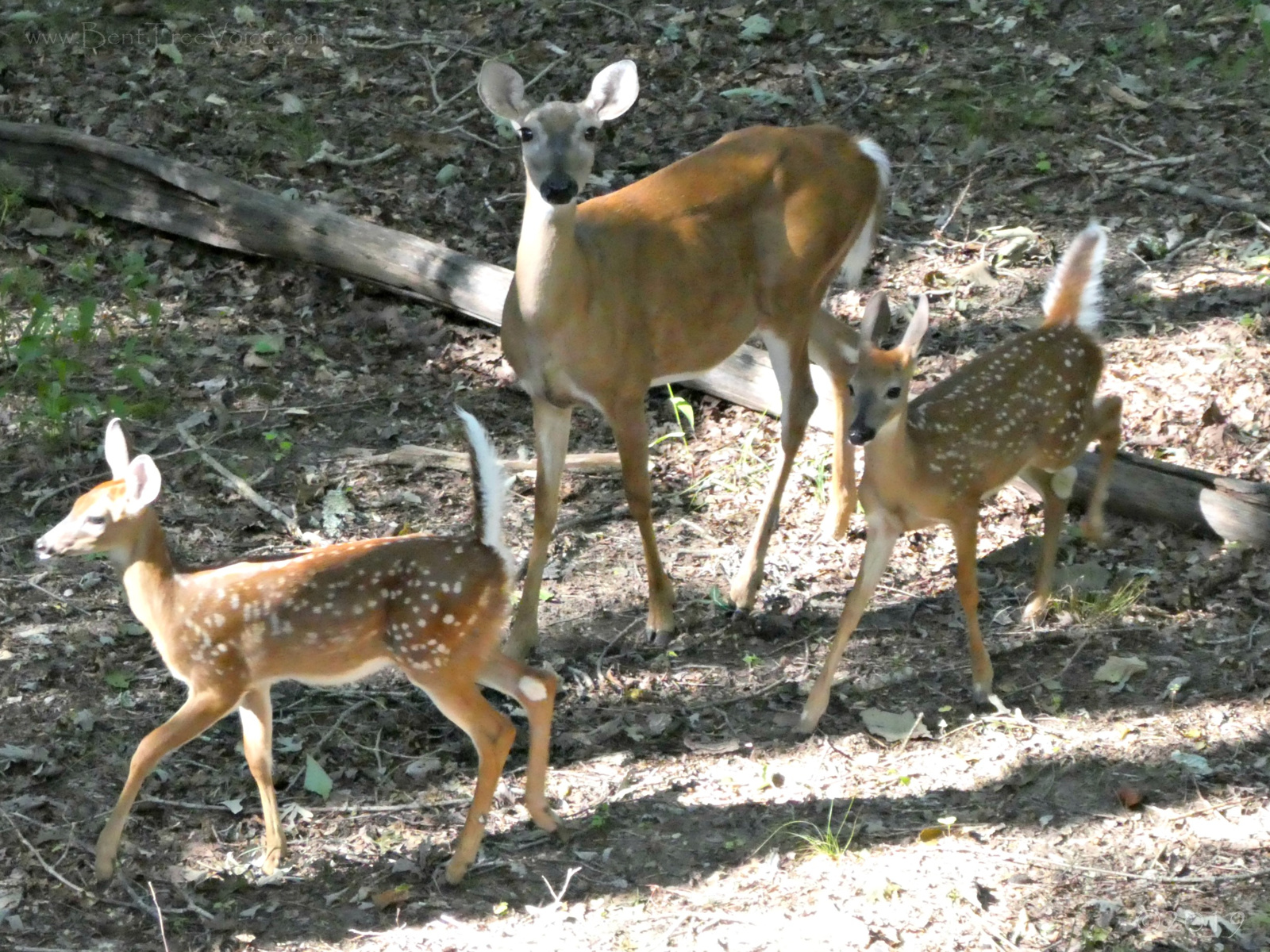 September 3, 2019 - Doe and fawns in Bent Tree