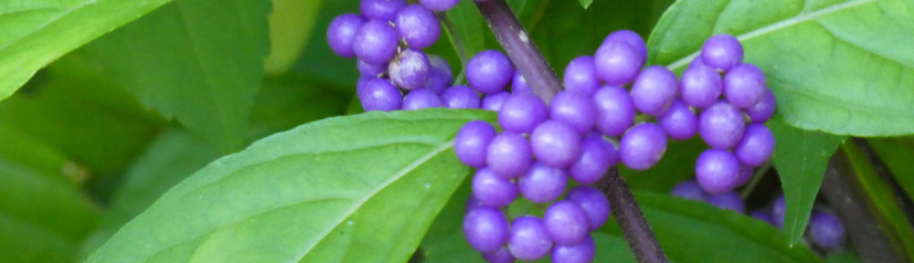 cropped-P1060576-2019-0831-beautyberry-bush.jpg