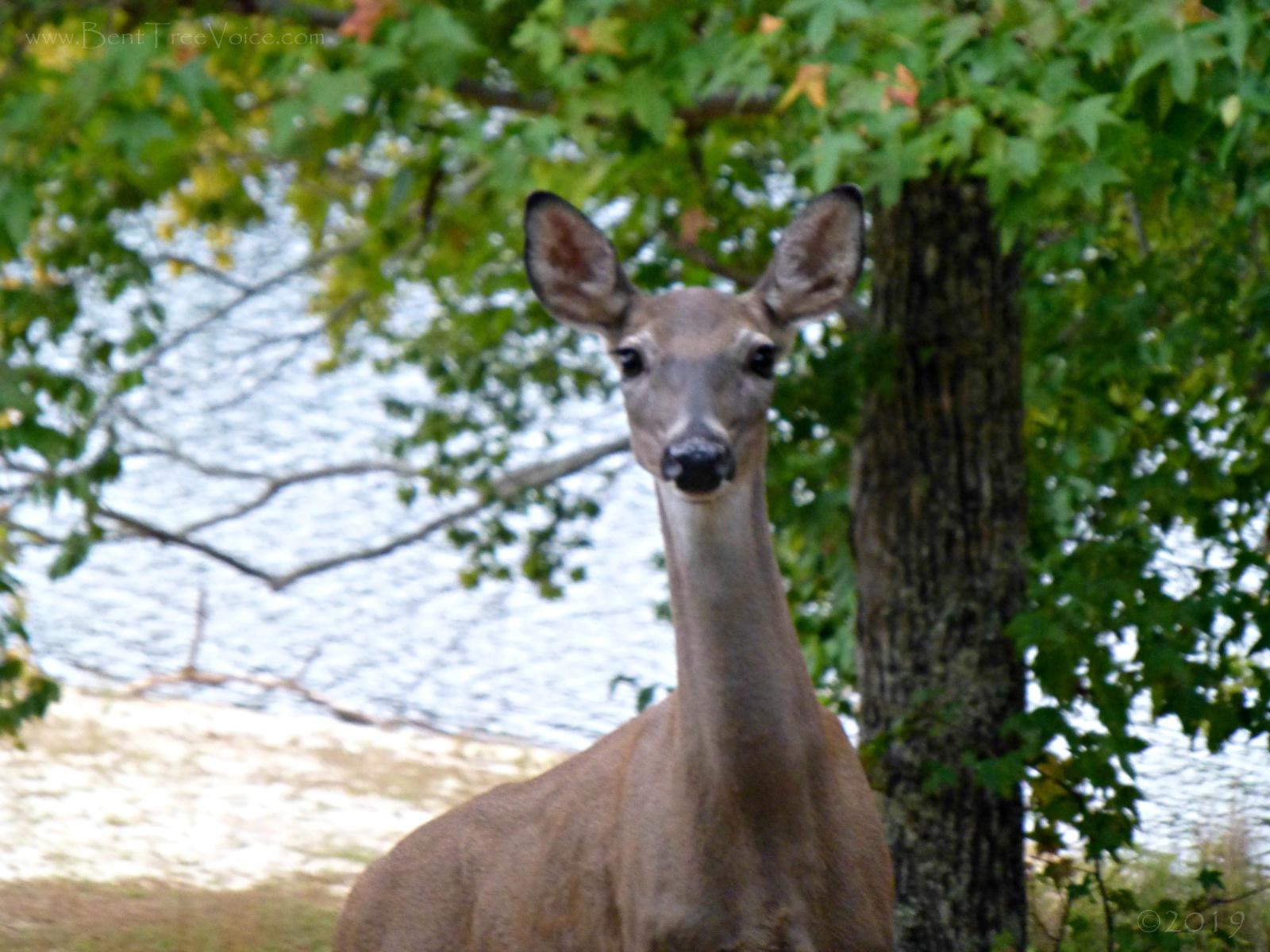October 15, 2019 - deer at Lake Tamarack in Bent Tree