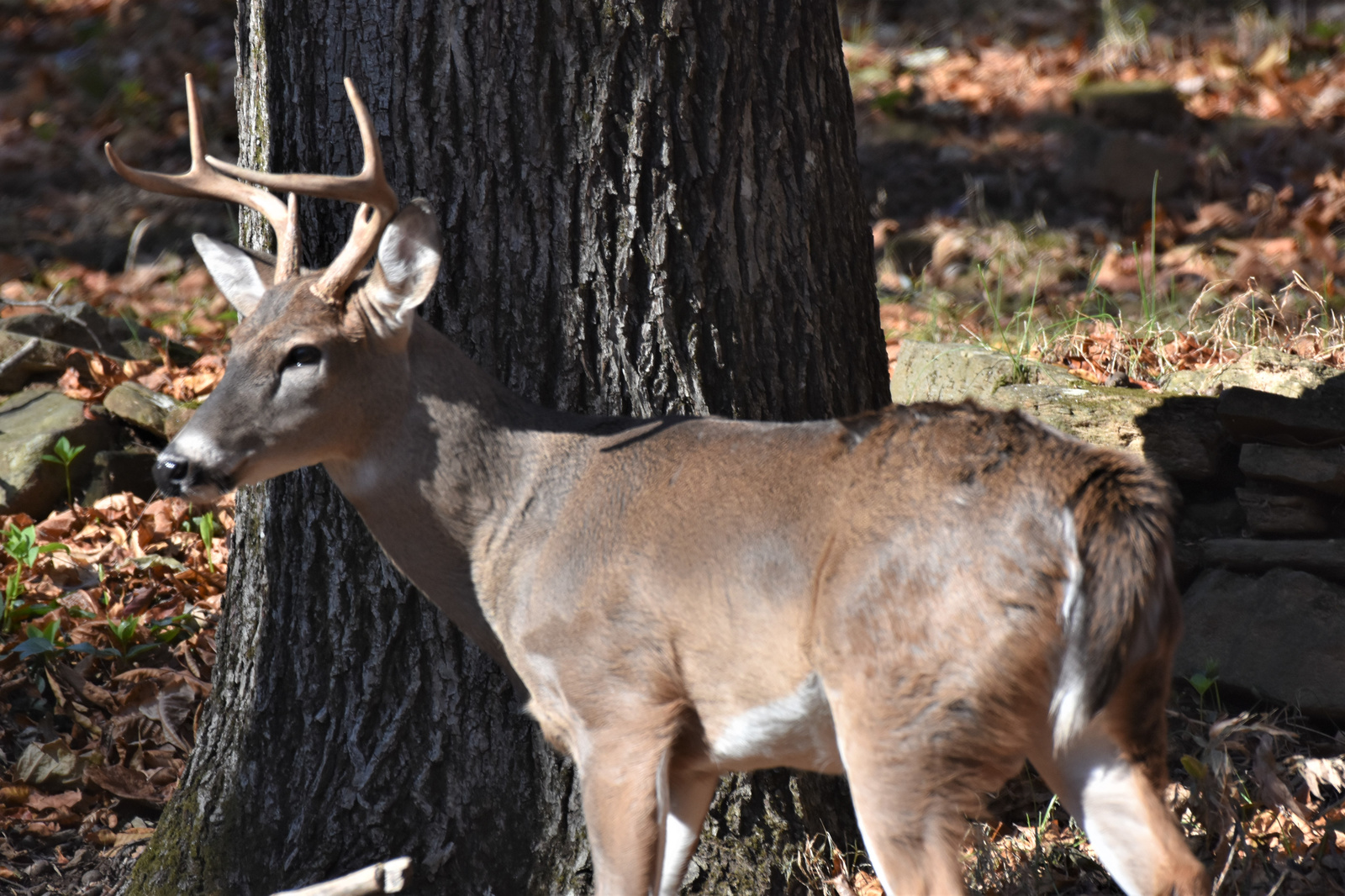 November 18, 2019 - Buck in Bent Tree
