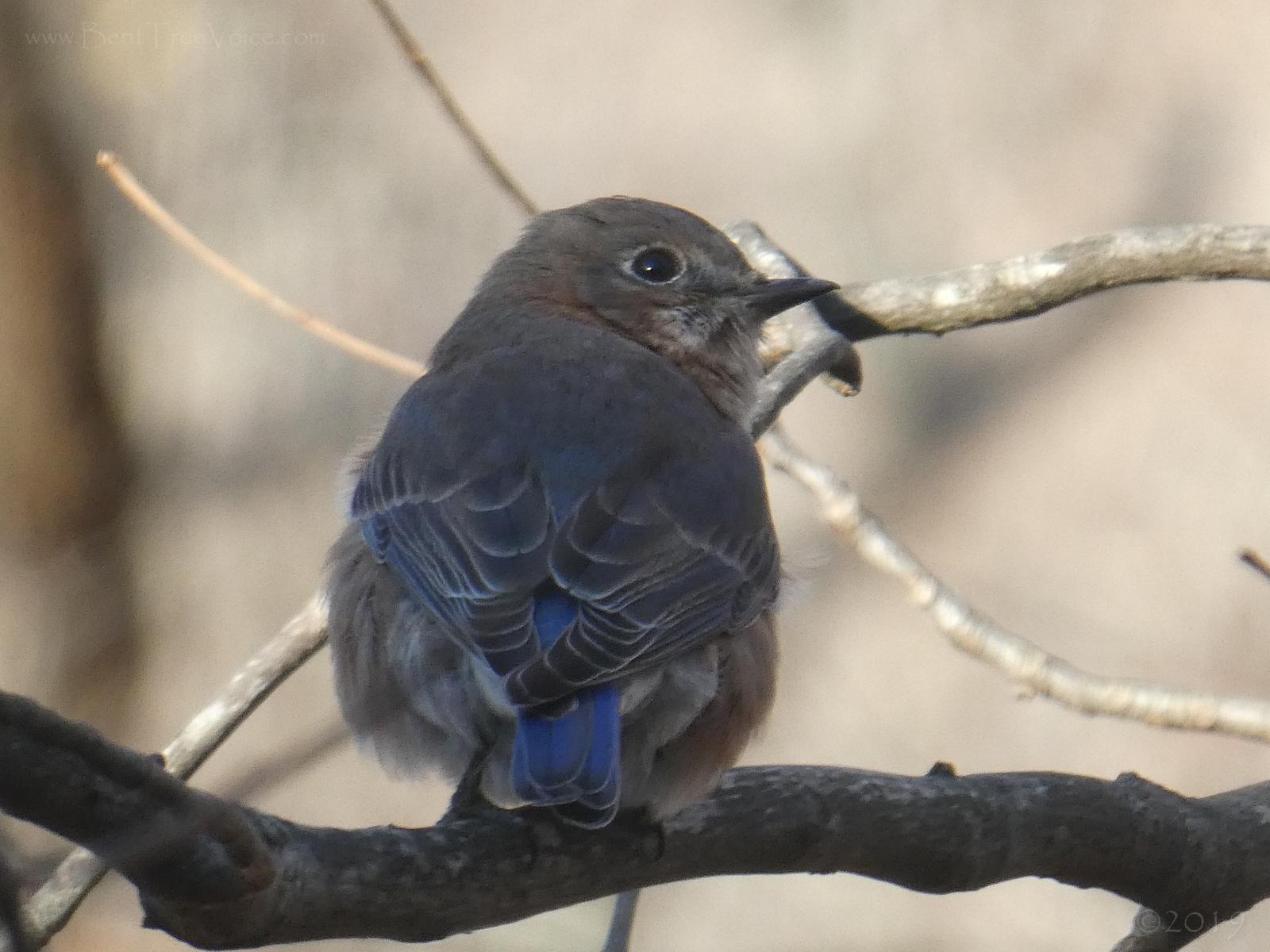 December 1, 2019 - Bluebird in Bent Tree