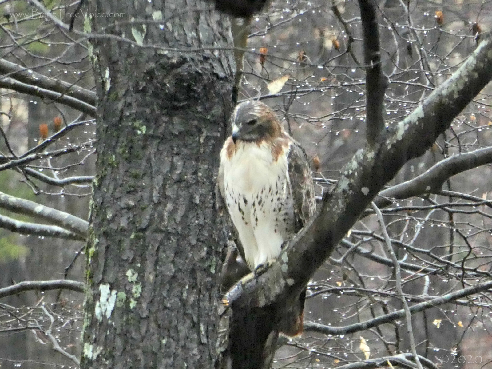 February 18, 2020 - hawk on a rainy day in Bent Tree