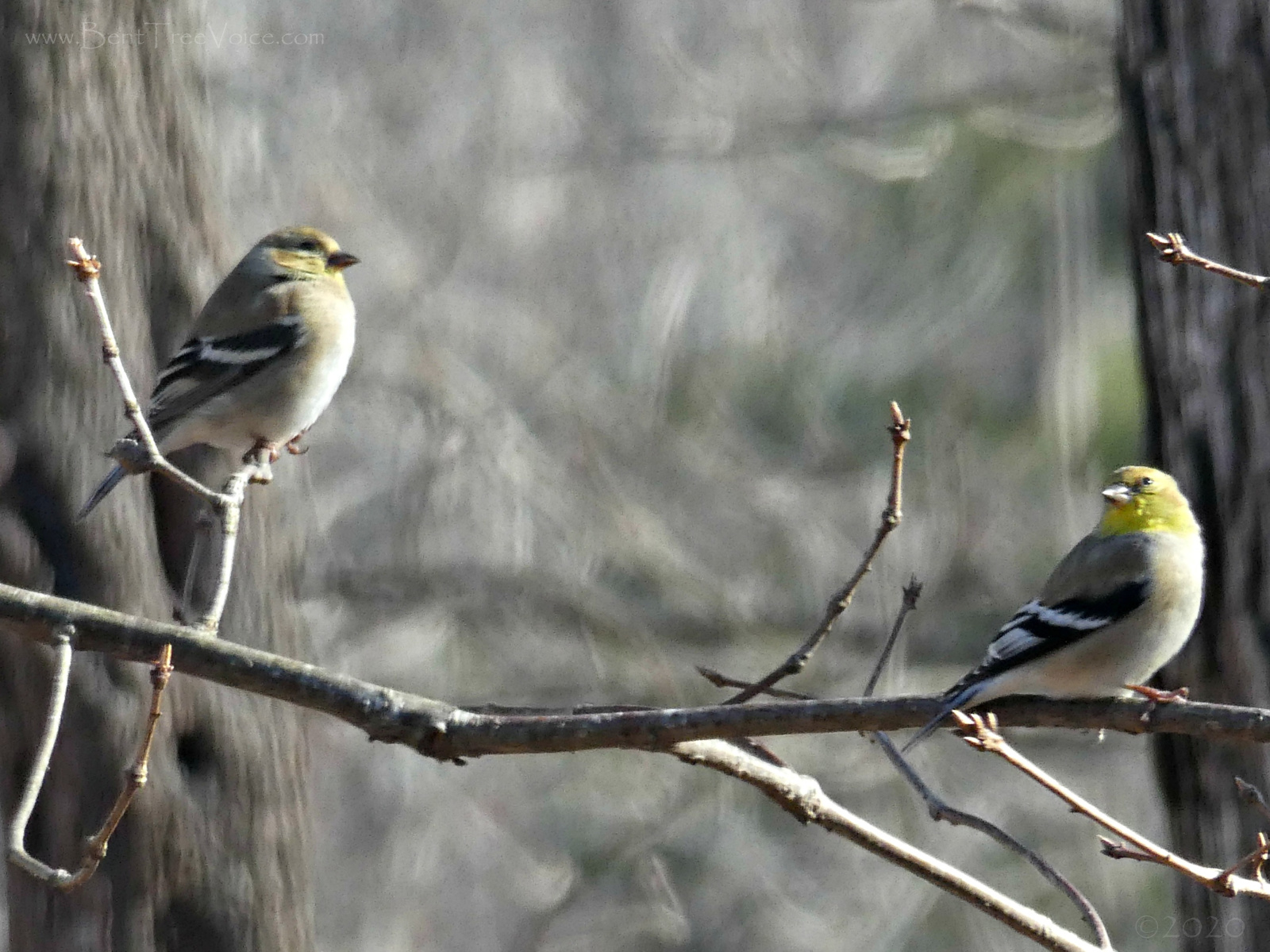 February 22, 2020 - Goldfinches in Bent Tree