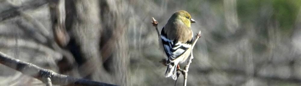 cropped-2020-0222-goldfinch-header.jpg