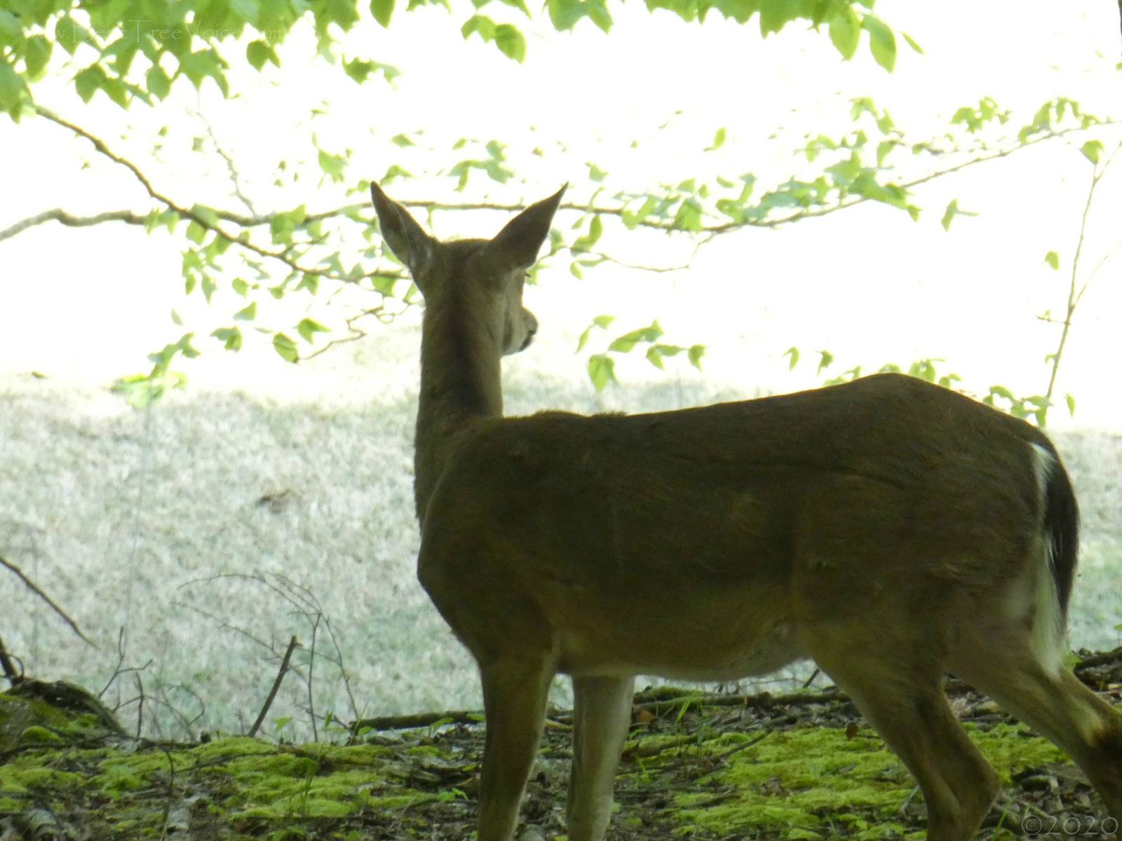 April 21, 2020 - Deer in the morning light in Bent Tree