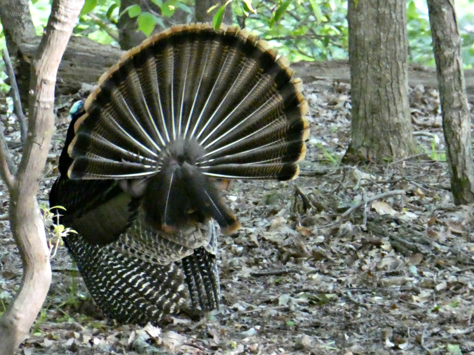 April 28, 2020 - Wild Turkey in Bent Tree