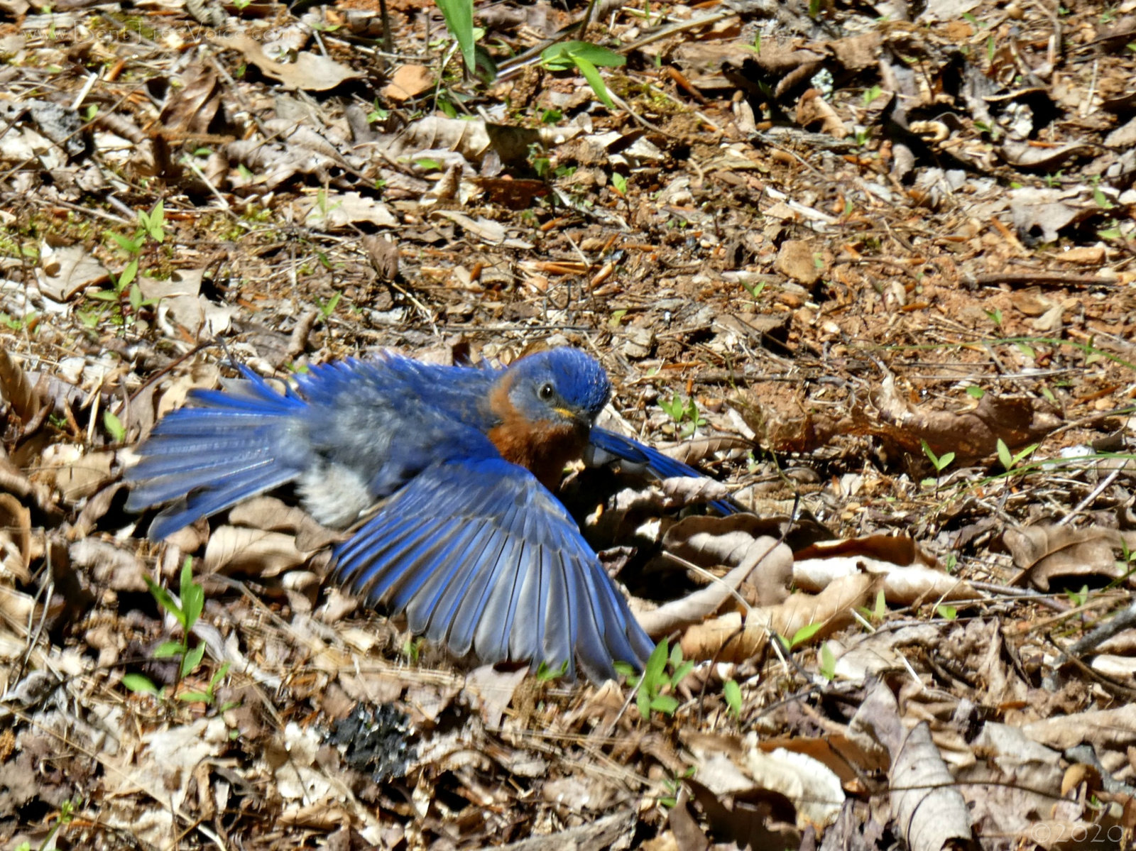 May 2, 2020 - Bluebird sunbathing