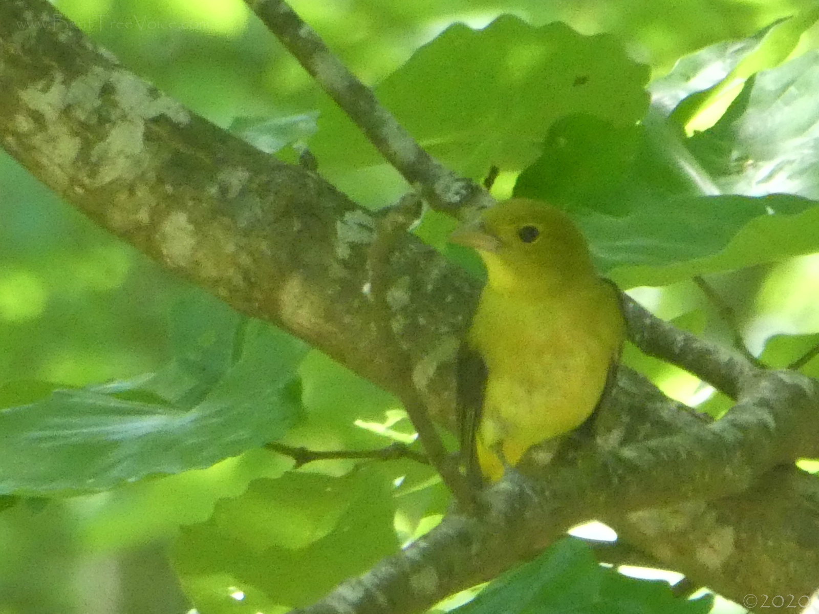 May 2, 2020 - Scarlet Tanager in Bent Tree (female or nonbreeding male)
