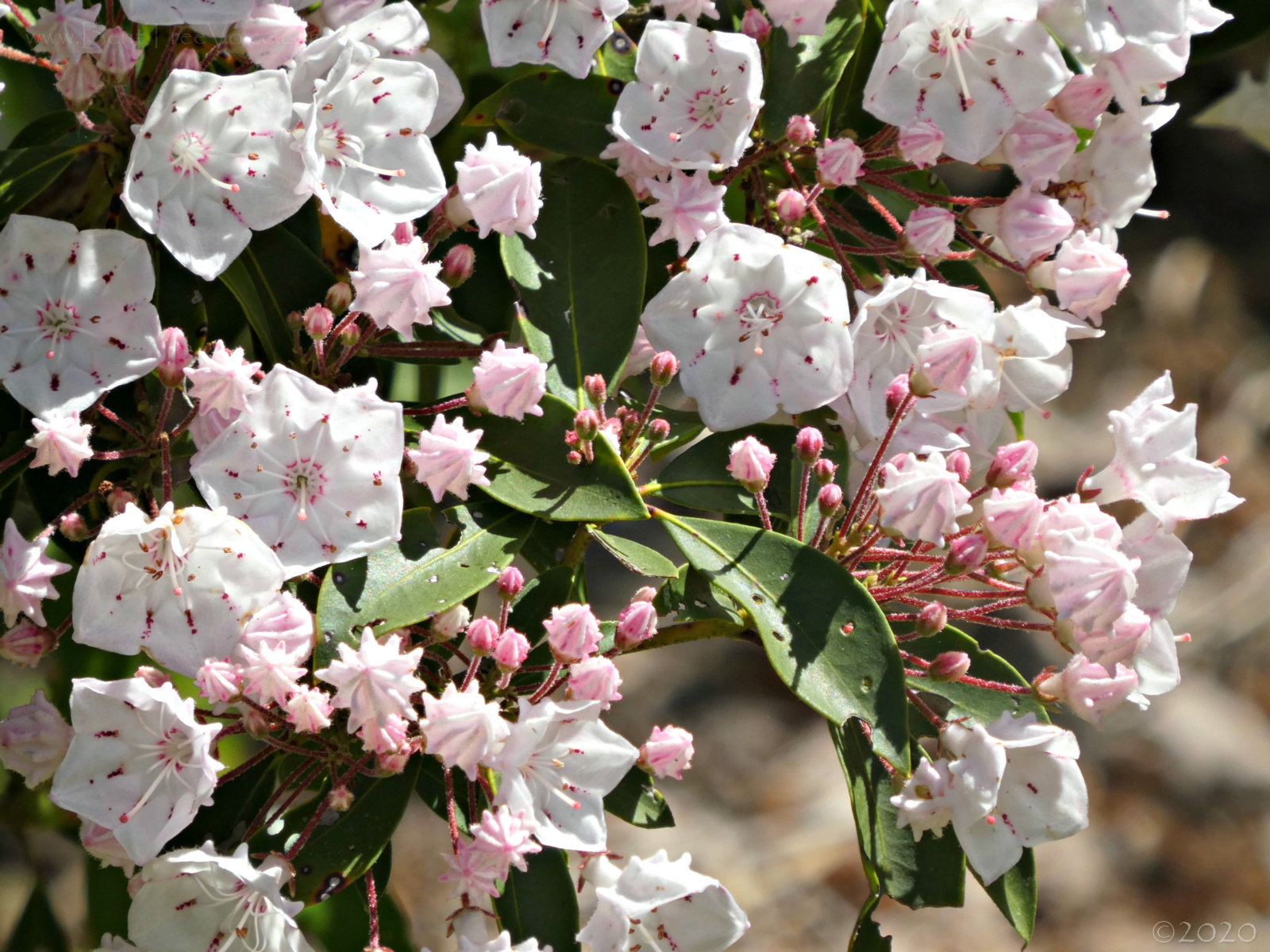 May 11, 2020 - Mountain Laurel in Bent Tree