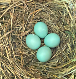 May 13, 2020 - Bluebird nest in Bent Tree