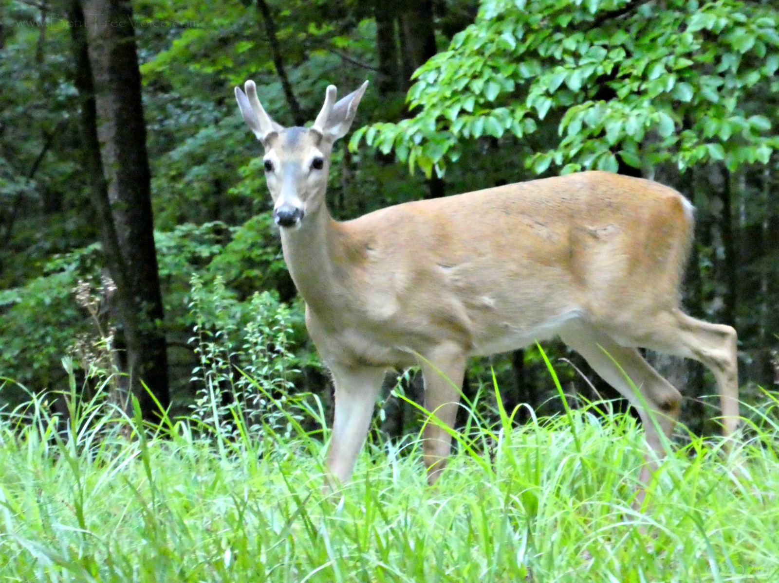 June 28, 2020 - Young Buck in Bent Tree