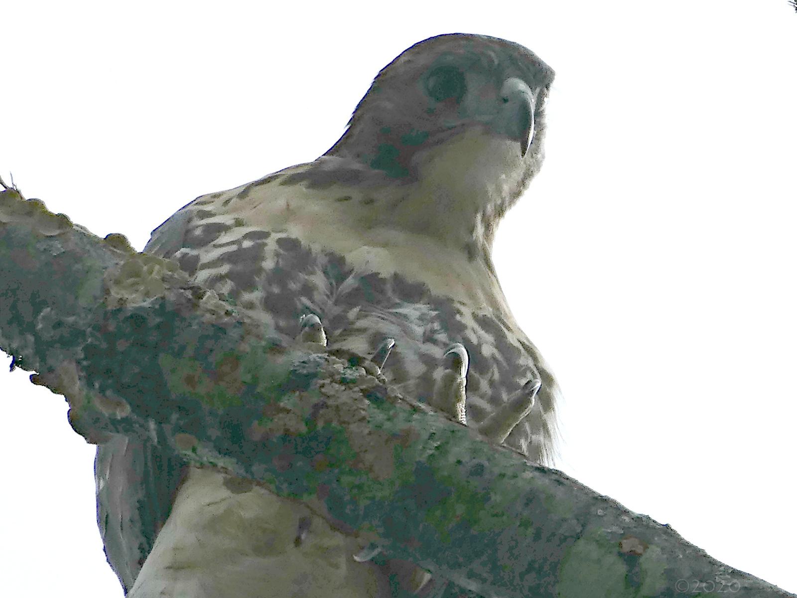 July 6, 2020 - Hawk in Bent Tree