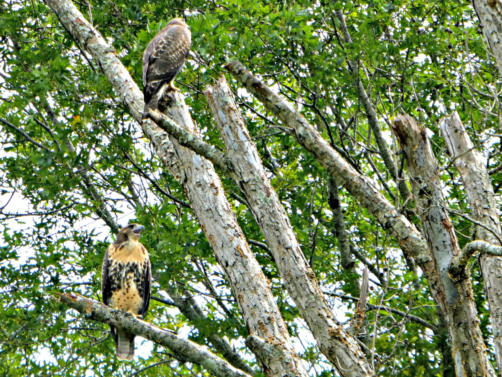 July 6, 2020 - Two hawks on Hole 9, Bent Tree Golf Course