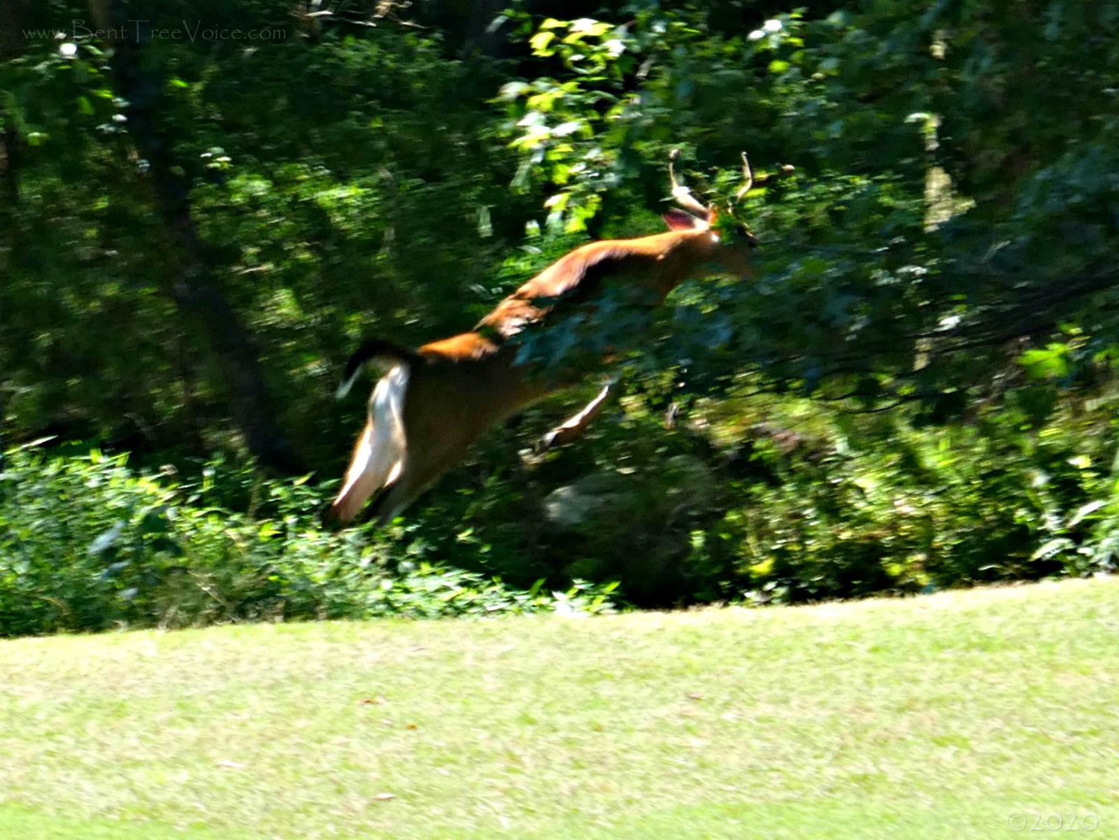 July 13, 2020 - Buck leaping across the side creek on Hole 5