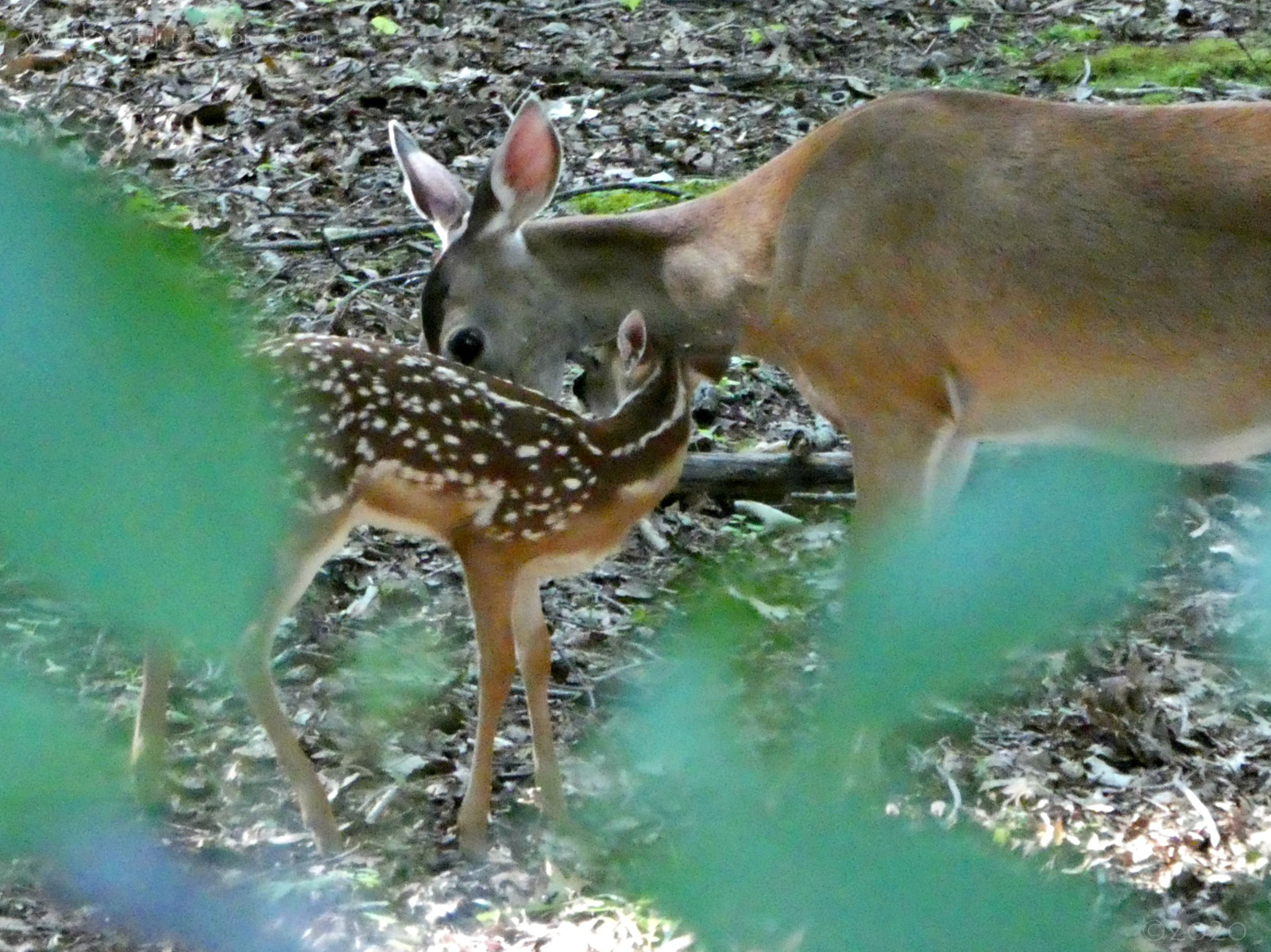 July 14, 2020 - Doe and fawn in Bent Tree