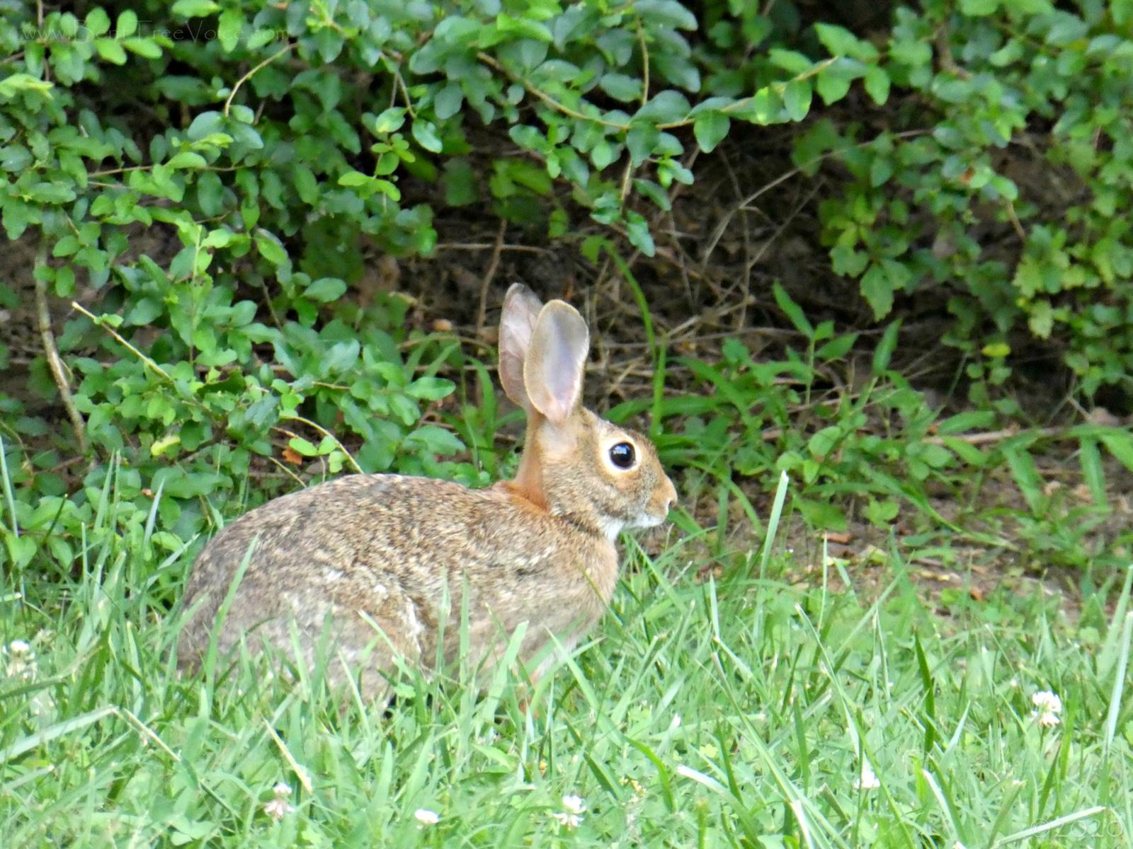 July 24, 2020 - Rabbit in Bent Tree