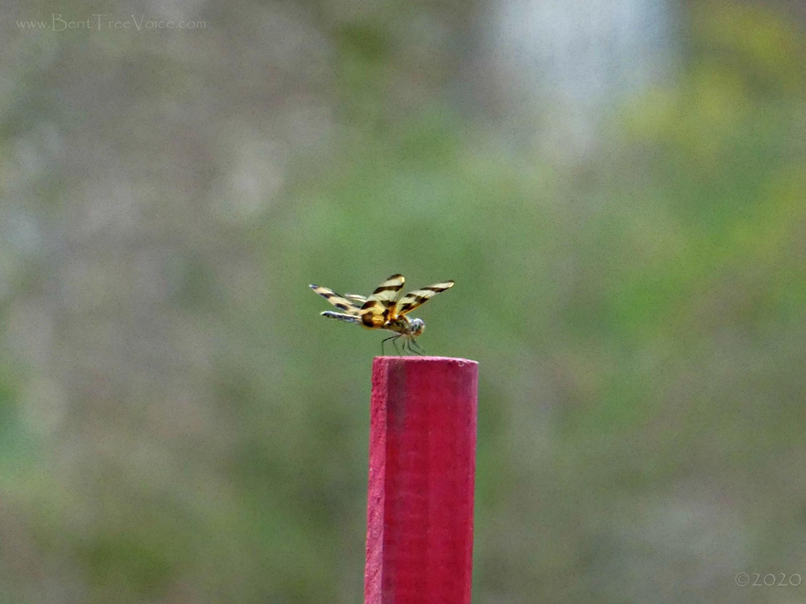 August 23, 2020 - Dragonfly on Hole 7