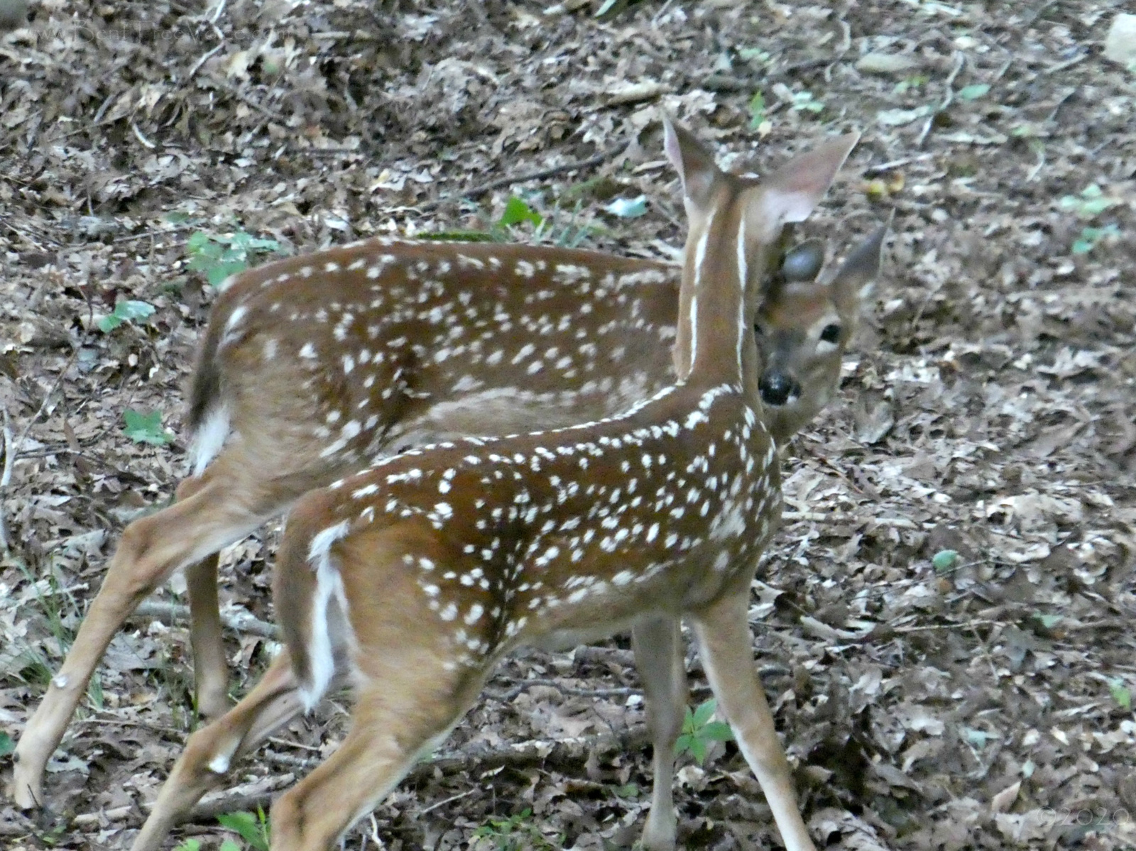 August 24, 2020 - Twin Fawns in Bent Tree