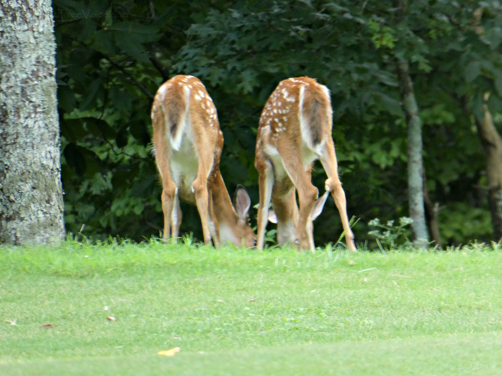 August 23, 2020 - Twin fawns on Hole 6, Bent Tree Golf Course