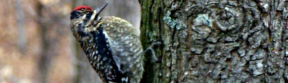 cropped-2013-0109-flicker-bird