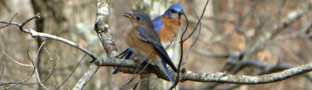 cropped-2013-0221-bluebirds-on-limb