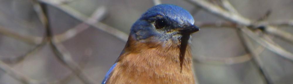 cropped-2013-03-bluebird