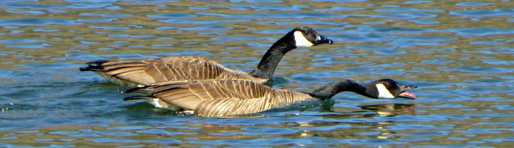 cropped-2013-0319-canada-goose-honking