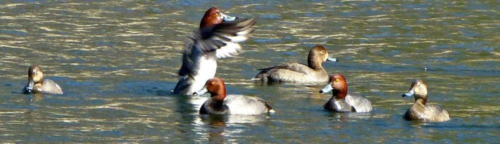 cropped-2013-0319-flapping-duck