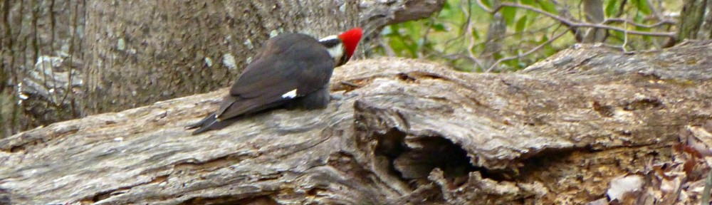 cropped-2013-0320-pileated-woodpecker