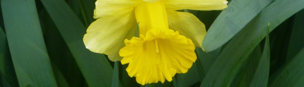 cropped-2013-0330-daffodil-horsepark