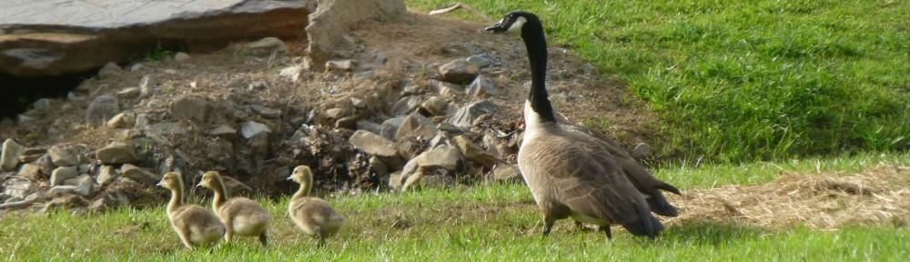 cropped-2013-0530-canada-geese-goslings