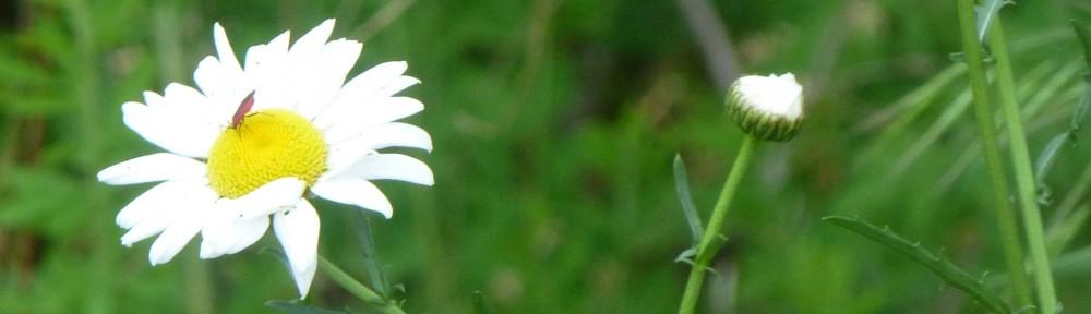 cropped-2013-06-daisy
