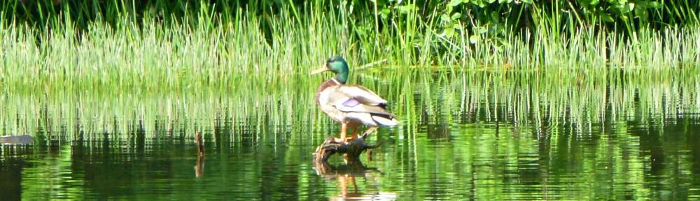 cropped-2013-0602-duck-lake-tamarack-spillway