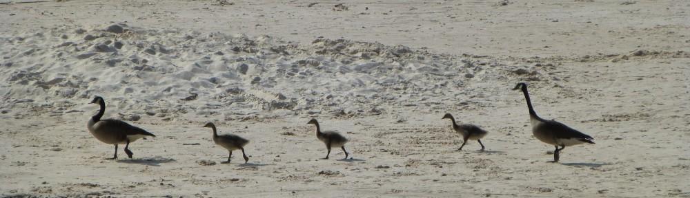 cropped-2013-0609-geese-goslings