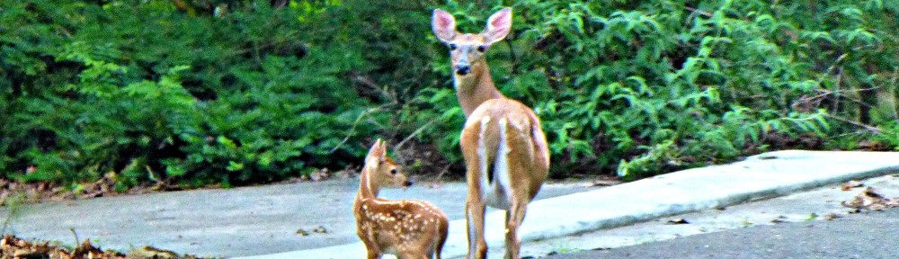 cropped-2013-0621-fawn-doe-header