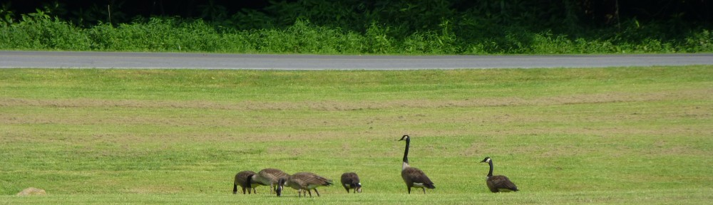 cropped-2013-07-geese