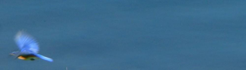 cropped-2013-0712-bluebird-in-flight