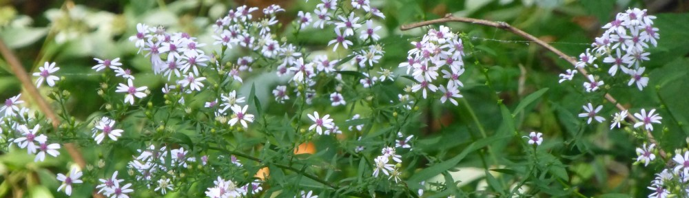 cropped-2013-09-asters