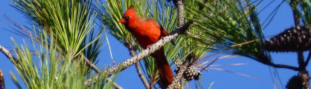 cropped-2013-10-cardinal
