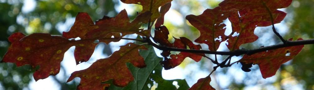 cropped-2013-10-oak-leaves