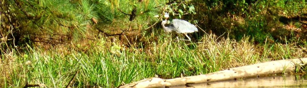 cropped-2013-1011-heron