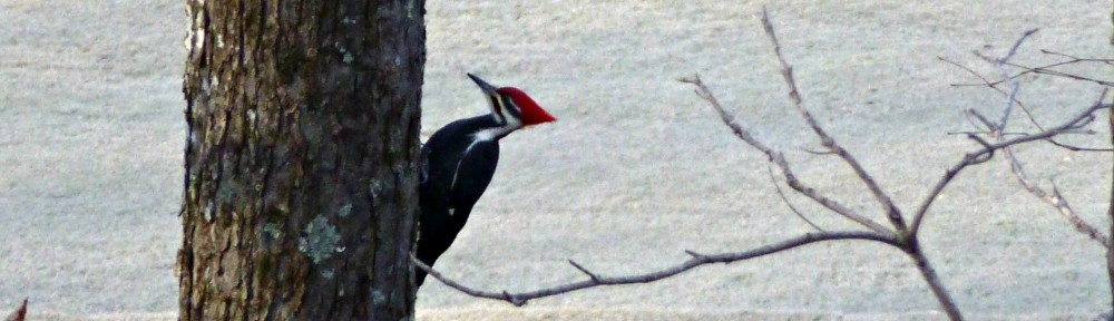 cropped-2013-1120-pileated-woodpecker