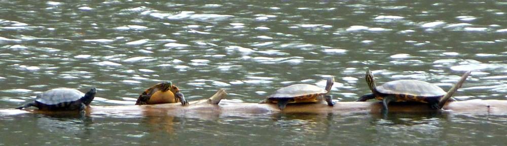 cropped-2013-1204-turtle-log