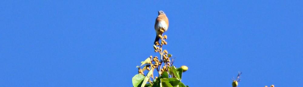 cropped-bluebird-paulownia-tree