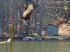 2015-0110-turkey-buzzard-takeoff-header.jpg