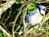 2015-0426-bluejay-bush-1000x288.jpg