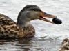 2015-0728-ducks-mussel-header-1000x288.jpg