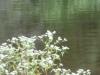 2015-0903 blue heron.jpg